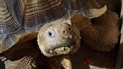 "Herr  Mitani beheimatet seit 20 Jahren eine Riesenschildkröte in seiner Tokioter Wohnung / 110916 ***<br /> VIDEO AVAILABLE - JAPAN OUT<br /> Man Lives with Giant Tortoise in Tokyo<br /> Tsukishima, Tokyo, Japan. Bon, the giant tortoise, is an international star online. Mrs. Mitani bought a small tortoise at a supermarket and brought him home 20 years ago. It was in the middle of August, during the traditional ""Bon"" holiday, which became his namesake. Now, 20 years later, Bon is a meter long and weighs about 70kg. His favorite foods are bananas, apples, cabbage, and carrots.<br /> African spurred tortoises come from a warm habitat, so he always wears a hand-made cloth when he goes out. He usually walks 5-600 meters and it takes him about an hour to an hour and a half to complete his route. <br /> In the interview, Bon's owner, Mr. Mitani, said, ""Bon is like my son."" They sure looked like father and son, walking together side by side."