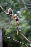 Parauapebas_PA, Brasil..Casal de Saua (Callicebus personatus) na Floresta Nacional de Carajas, Para...Couple of Masked Titi (Callicebus personatus) in the Carajas National Forest, Para...Foto: JOAO MARCOS ROSA / NITRO