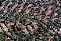 Olive groves near Zujar, Granada Province, Andalusia, Spain.