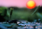Green heron looking for food in swamp at sunrise - Mississippi.