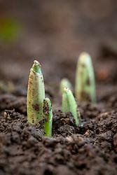 Emerging snowdrop shoots. Galanthus nivalis