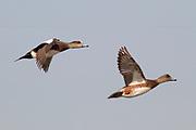 Pair of Eurasian Wigeons in flight.(Anas penelope).Bolsa Chica Wetlands,California