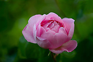 """Rosa 'Constance Spry"""""""