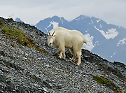"""A mountain goat shares the Exit Glacier Trail in the Kenai Mountains of Alaska, USA. The mountain goat (Oreamnos americanus, or Rocky Mountain Goat) is a large-hoofed mammal found only in North America. It is an even-toed ungulate in the family Bovidae, in subfamily Caprinae (goat-antelopes), in the Oreamnos genus, but is NOT a true """"goat."""" The only road into Kenai Fjords National Park is a spur of the Seward Highway to Exit Glacier, one of the most visited glaciers in Alaska. It was named after the exit of the first recorded crossing of Harding Icefield in 1968. Hike trails to the glacier terminus or up to Harding Icefield."""