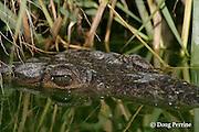 American crocodile or estuarine crocodile, Crocodylus acutus ( Endangered Species ), Northern Caye, Lighthouse Reef Atoll, Belize, Central America