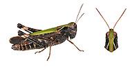 Woodland Grasshopper - Omocestus rufipes - male
