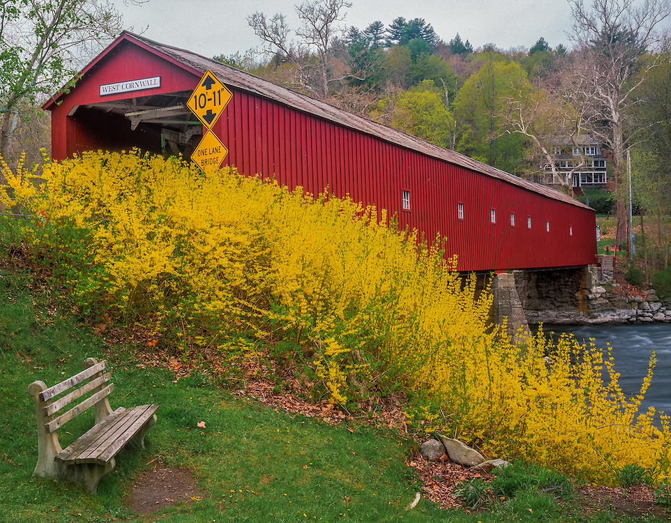 Forsythia bushes bloom at covered bridge over Housatonic River, West Cornwall, CT