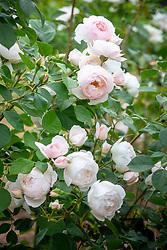 Rosa 'Desdemona' syn. 'Auskindling'