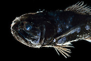 [captive] Ridgehead (Melamphaes sp.), Deep Sea fish, Atlantic Ocean close to Cape Verde | Großschuppenfische (Melamphaes sp.)