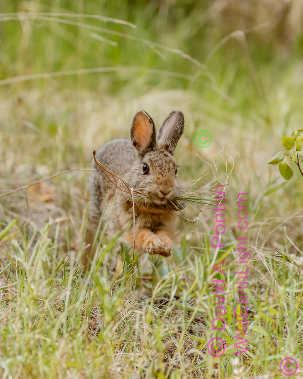 Mountain cottontail gathers dry grass and pine needles and quickly takes them to its burrow for lining the nest chamber and closing off the entrance, Jemez Mountains, NM, © David A. Ponton