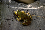 Portrait of a frog resting on a rock.