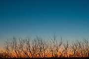 Mesquite trees at sunset, Llano, County Texas