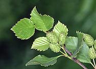 Green Alder - Alnus viridis