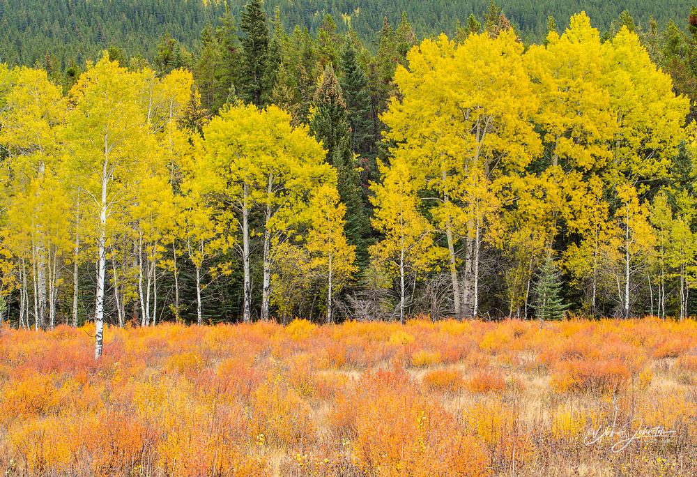 Autumn aspens and dwarf birch, Kananaskis Country, Alberta, Canada