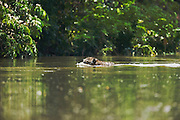 A close-up of a jaguar (Panthera onca) swimming across a river,Mato Grosso, Pantanal, Brasil,South America