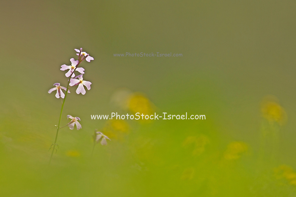 Selective focus on a Ricotia lunaria commonly known as Maltese Cross Ricotia or Egyptian Honesty. Photographed in israel in January