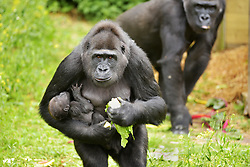 "May 30, 2017 - Bristol, Bristol, UK - Bristol, UK. Gorilla mum TOUNI with baby yet to be named. Keepers at Bristol Zoo Gardens have revealed that their new baby gorilla is a girl. The little Western lowland gorilla was born in the early hours of Saturday, April 22nd to first-time mum Touni and silverback gorilla dad, Jock. Touni has been at the Zoo since September 2015 after coming from La Vallée des Singes zoo in France, as a breeding partner for Jock. The bright-eyed five week old baby is getting stronger every day and now needs a name. Bristol Zoo's curator of mammals, Lynsey Bugg, said: ""Our little lowland gorilla is doing incredibly well - developing exactly as she should, feeding well and putting on plenty of weight. Now we would like to ask the public to help us choose a name for her.""  The Zoo is asking members of the public to vote on their favourite from a choice of three names, all inspired by the name 'Daisy'. She added: ""We would like to name her in memory of the baby daughter of one of our colleagues who was born four years ago on the same day as the baby gorilla. Daisy was stillborn and we thought this would be a lovely tribute to her."" Keepers have chosen a shortlist of names for the baby gorilla – Fleur, Ayana and Undama. Fleur is French for flower, chosen because Touni is French. Ayana means 'pretty flower' in Ethiopian, and Undama means 'beautiful flower' in Swahili. Voting will open later today (Tuesday 30 May) on the Bristol Zoo Facebook page. After Daisy was born, her parents, who are both members of staff at Bristol Zoo, received support from SANDS (the stillborn and neonatal death charity). For more information about SANDS, visit www.sands.org.uk/ or phone 0808 164 3331. The new baby takes the number of gorillas living at Bristol Zoo to eight. The refurbished and extended Gorilla House opened in 2013 and is able to accommodate up to 10 gorillas in a state-of-the-a"