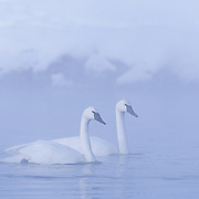 Trumpeter Swan (Cygnus buccinator) on the Madison River in Yellowstone National Park.
