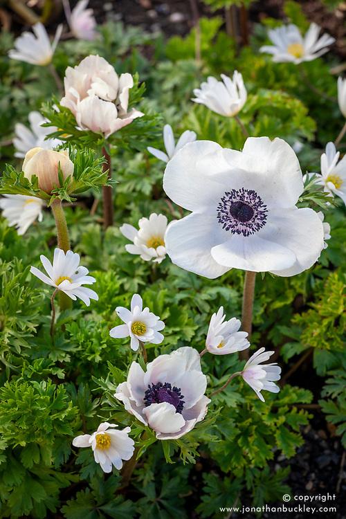 Anemone blanda 'White Splendour' AGM - Winter windflower - with Anemone coronaria White
