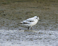 Little Gull Larus minutus L 25-28cm. Our smallest gull. Has buoyant, tern-like flight. Sexes are similar. Adult in summer has pale grey upperwings with white wingtips, dark hood, dark bill and short, reddish legs. In flight, upperwings have white trailing edge and rounded white wingtip; underwings are dark with white trailing edge. In winter, similar but loses dark hood; otherwise white head has dark smudges on crown and ear coverts. Juvenile has striking black bar (forming letter 'W') on upperwings and back. Note dark markings on mantle, nape and ear coverts, and dark tail band; plumage is otherwise white. 1st winter is similar to juvenile but back is pale grey, hence dark bar is seen only on wings. Adult plumage acquired over next 2 years. Voice Utters a sharp kyeck call. Status Regular but scarce passage migrant and winter visitor; mainly coastal.