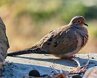 Mourning Dove (Zenaida macroura). Image taken with a Fuji X-H1 camera and 200 mm f/2 lens + 1.4x teleconverter.