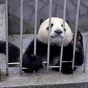 Giant Panda, (Ailuropoda melanoleuca) In holding pen in Wolong Reserve. Sichuan, China.  Captive Animal.