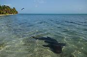 Nurse Shark (Ginglymostoma cirratum) & Magnificent Frigatebird (Fregata magnificens)<br /> Marine Megafauna Research. Large marine fish, sharks, rays & turtles.<br /> MAR Alliance<br /> Halfmoon Caye<br /> Lighthouse Reef Atoll<br /> Belize<br /> Central America