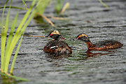 Horned grebe with chick on back, Chick being fed