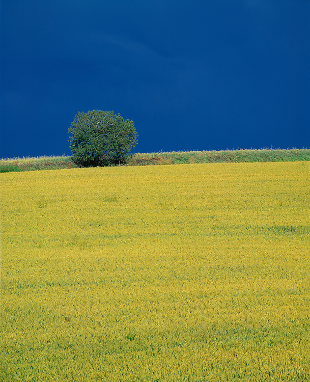 Canola crop in North Idaho contrasts starkly against blue sky of spring with a round bushy tree at horizon line. Licensing and Limited Edition Prints.