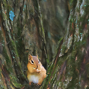 Whimsical portrait of chipmunk eating a seed while nestled at the juncture of two tree branches.  Painted effects blended with photorealism.