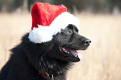 black dog dressed in a santa claus hat