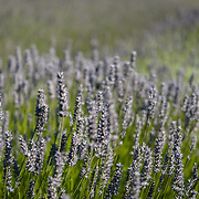 Close up of lavendar field on San Juan Island
