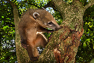 Südamerikanischer Nasenbär (Nasua nasua) bei der Nahrungssuche auf einem Baum, Iguacu-Fälle, Brasilien<br /> <br /> A south American coati is looking for food an a tree, Iguacu falls, Brazil