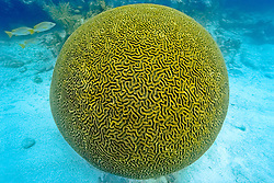boulder brain coral, Colpophyllia natans, Islamorada, Florida Keys National Marine Sanctuary, Florida, USA, Caribbean Sea, Atlantic Ocean