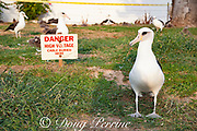 Laysan albatrosses, Phoebastria immutabilis, wander around a warning sign, Sand Island, Midway Atoll, Midway National Wildlife Refuge, Papahanaumokuakea Marine National Monument, Northwest Hawaiian Islands, USA ( North Pacific Ocean )