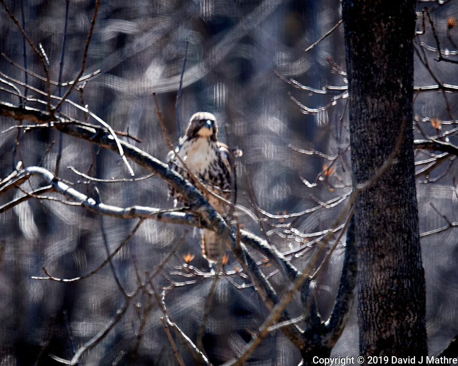 Sharp-shinned Hawk. Image taken with a Nikon N1V3 camera and 70-300 mm VR lens