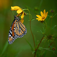 Monarch Butterfly on Yellow Wildflower. Sourland Mountain Preserve, Summer Nature in New Jersey. Image taken with a Nikon D3s and 300 mm f/2.8 VR lens + TC-E III 20 teleconverter (ISO 220, 600 mm, f/5.6, 1/500 sec). Raw image processed with Capture One Pro 6, Nik Define, and Photoshop CS5.