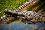American alligator (Alligator mississipiensis) relaxes on land in Myrtle Beach, SC.