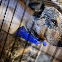 070915  Adron Gardner/Independent<br /> <br /> A dog peers from a small pen at the Gruda home in Gallup Thursday.  The dog was a neighborhood stray the Grudas took in and was found with the blue bandanna as seen in the photo.