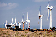 The cows have taken over a wind farm on the Big Island of Hawaii.