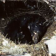 Black Bear sow in a winter den wih three cubs snuggled around her. Minnesota