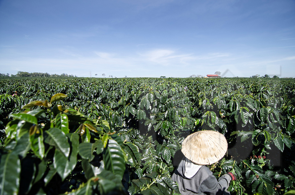 Young Lao woman working in a coffee plantation of Paksong. Arabica beans are from brazilian coffee trees.