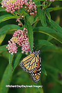 03536-00719  Monarch butterfly (Danaus plexippus) on Swamp Milkweed (Asclepias incarnata) Marion Co., IL