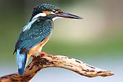 Common Kingfisher [alcedo atthis] Israel Summer September 2007.