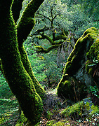 Interior live oaks, Quercus wislizenii, carpeted with moss and polypody ferns, Rock Creek drainage, Tahoe National Forest, California.