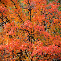 A brightly colored maple tree during peak Utah Fall colors in Logan Canyon as its branches reach towards the sky.