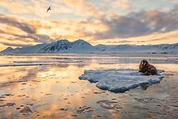 Spring in the arctic is a mix of melting ice and snow from a long winter and stunning light.  In summer, walrus follow the melting pack ice and head north to find places to feed.  This lone walrus went north a bit earlier than his pack and found shelter for the night on this piece of ice.