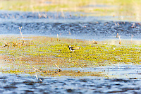 Sweden, Lake Hornborga. Northern Lapwing.