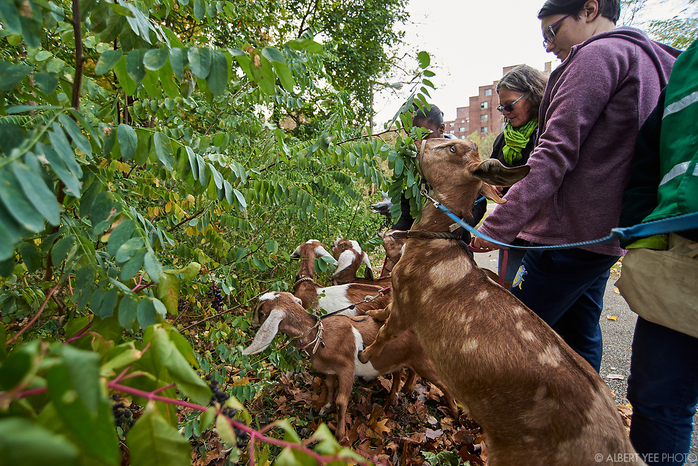 Signature Site Event at Kemble Park<br /> Join us to celebrate the 10th annual Love Your Park Fall Service Day with a special signature site event at Kemble Park! Community members are invited to clean, green, and celebrate along with the Friends of Kemble Park, Philadelphia Parks & Recreation, Fairmount Park Conservancy, and volunteers from our sponsors. Mayor Jim Kenney and other VIPs will join us for a brief speaking program, and we'll have food, music, and fun activities for kids.<br /> Goats from the Philly Goat Project were on hand to help clear vegetation.<br /> for Fairmount Park Conservancy<br /> November 8, 2019