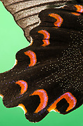 Macro abstract image of the under wing pattern and texture of a Common mormon butterfly (Papilio polytes). Studio, Norfolk